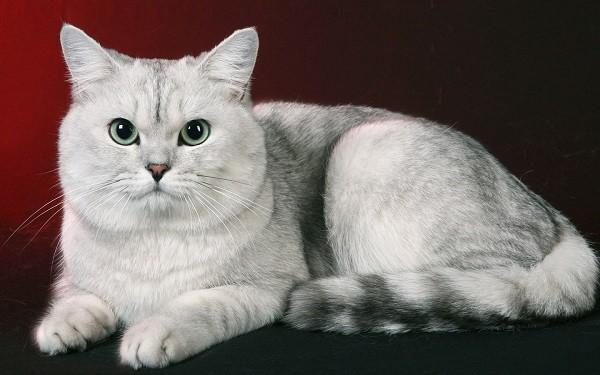 До чого сниться кішка по сонникам Фрейда або Лоффа