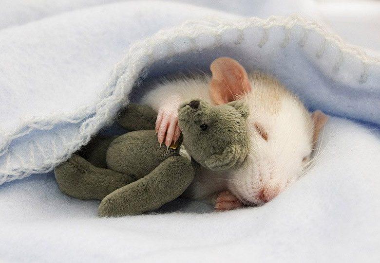 До чого сниться пацюк тлумачень авторитетних сонників і загальним значенням