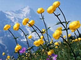 До чого сняться жовті квіти по сонникам Міллера, Ванги, Фрейда, Цвєткова