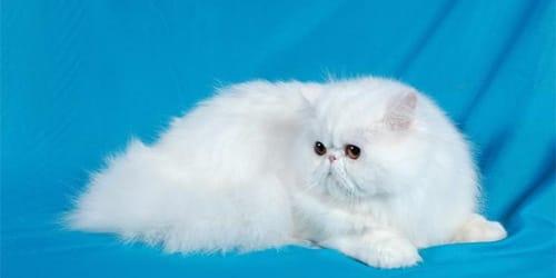 Сонник біла кішка до чого сниться біла кішка у сні